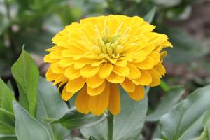 How to grow zinnia flowering plants gardening zinnia mightylinksfo