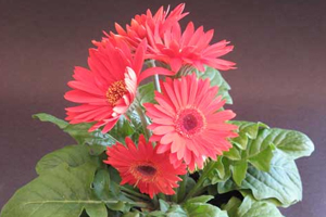 How to grow gerbera flowering plants gardening gerbera flowers comes in vibrant colours adding beauty to your garden it has around 40 species spreading from africa across to madagascar into tropical mightylinksfo