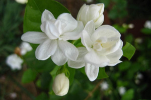 How to grow jasmine flowering plants gardening jasmine or jessamine the sweet scented white flowers belongs to the genus jasminum it is an evergreen semi vining shrub native to tropical areas of mightylinksfo