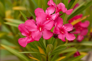How to grow oleander flowering plants gardening oleander is a large fast growing evergreen shrub native to asia and the mediterranean region this plant with glossy 4 to 10 inch long narrow dark green mightylinksfo