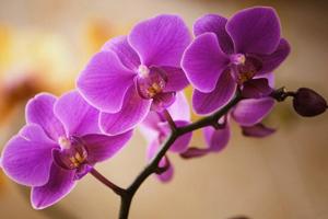 [Image: phalaenopsis.jpg]