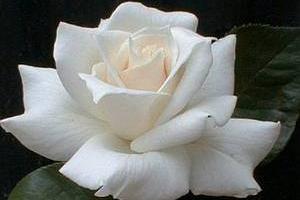 white roses how to grow white roses rose gardening