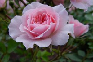 Pink Roses How To Grow Pink Roses Rose Gardening