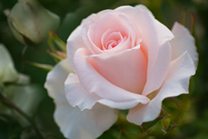 Pink Roses How To Grow Rose Gardening