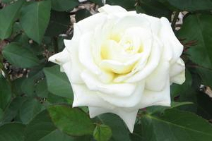 White roses how to grow white roses rose gardening medium size lightly fragrant flowers comes in small clusters flower plant grows from 25 feet to 4 good disease resistance healthy foliage mightylinksfo