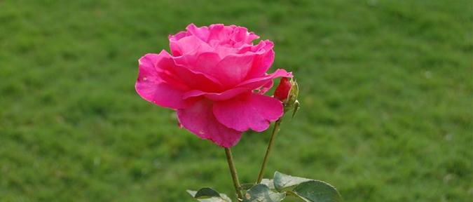 How to grow Roses Rose Flower Gardening