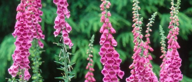 Types of plant annuals biennials perennials shrubs - A gardener is planting two types of trees ...