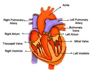 Effects of aging heart old age health to continuously pump blood ar heart ccuart Choice Image