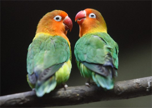 African lovebirds with name - photo#35