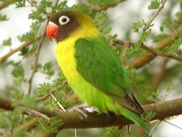 Hobbies, Pets, Birds, Love Birds- Peach faced Love Bird