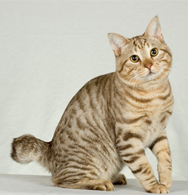 American Bobtail Cat Price In India