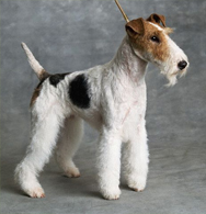 Fox Terrier : Smooth F...