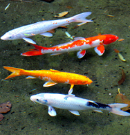 Freshwater Aquarium Fish Tropical Freshwater Fish