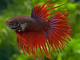 Types of bettas by colour tailss patterns and genetics for Betta fish life expectancy
