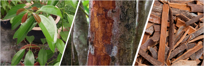 Image result for cinnamon tree bark