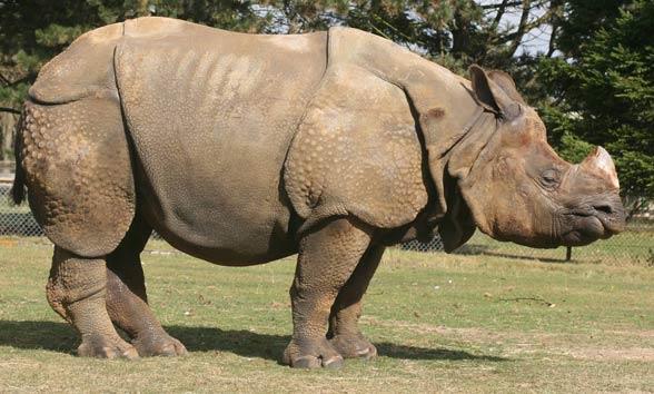 Dudhwa rhino rehab stuck for sedating drug