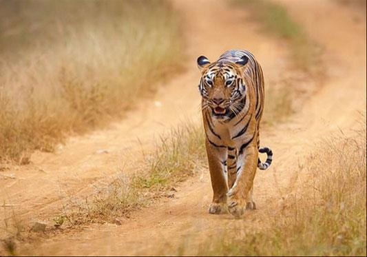 Poaching at all-time high, but tiger numbers still rose