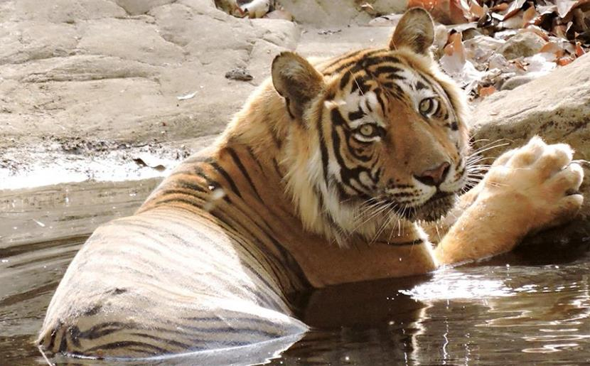 Tiger population booms in India's Terai region