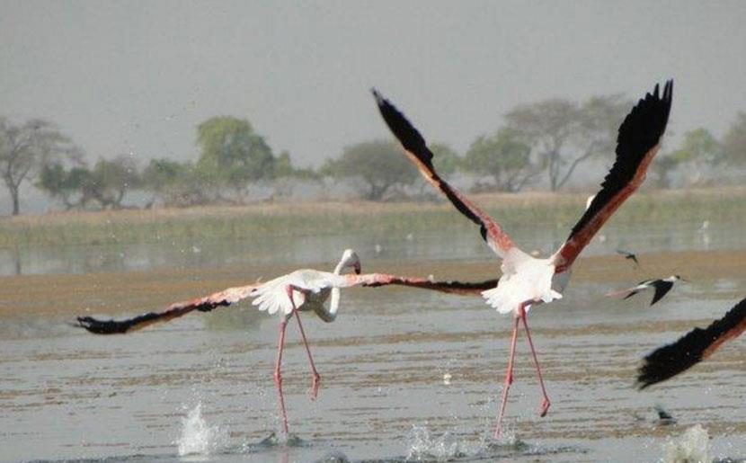 In a first, greater flamingoes spotted in Himachal's Pong wetlands