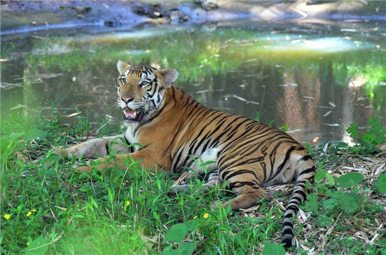 Most enthralling tiger destinations around the world