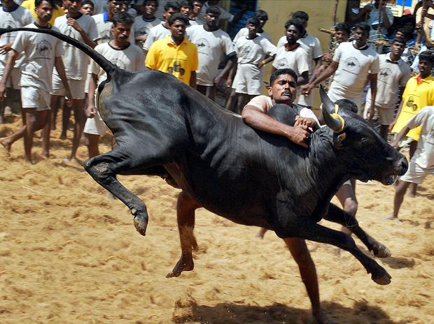 Making a case for Jallikattu - an age old tradition